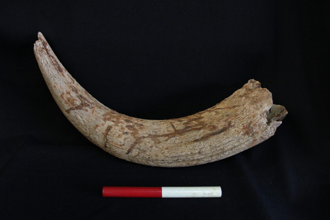 The aurochs horn core from excavation in Cambridgeshire